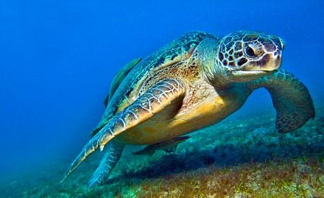 The Caretta Caretta Turtle | Travel to North Cyprus